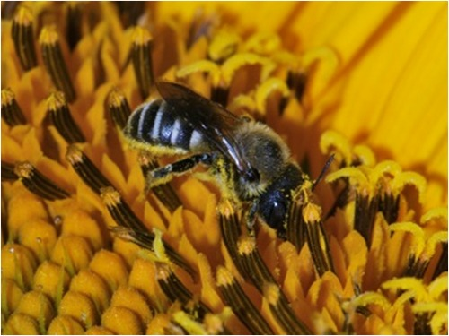 Small Wild Bee