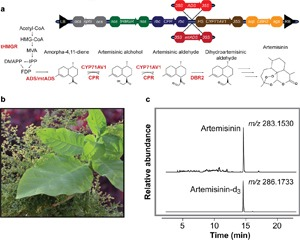 Generation Of The Potent Anti-Malarial Drug Artemisinin In Tobacco