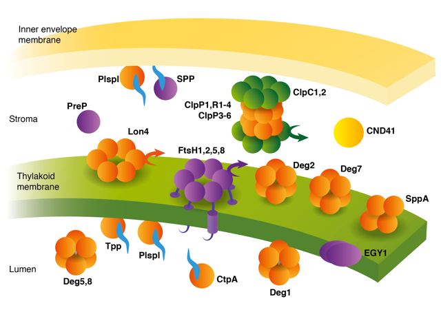chloroplast_proteases