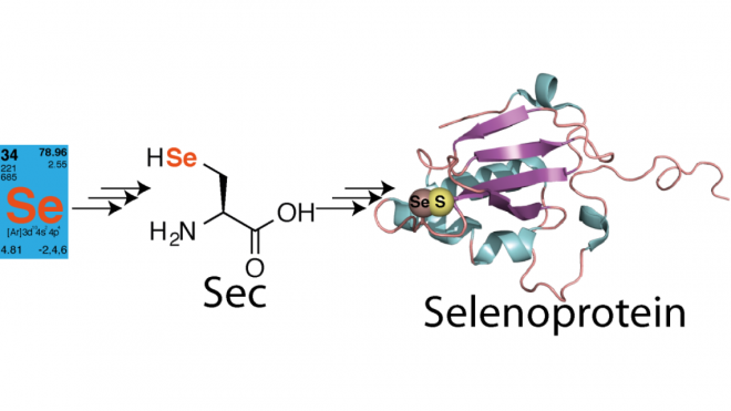 Using chemical protein synthesis to access natural selenoproteins